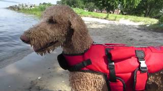 Standard Poodle Loves The Beach!!! (7.4.15)