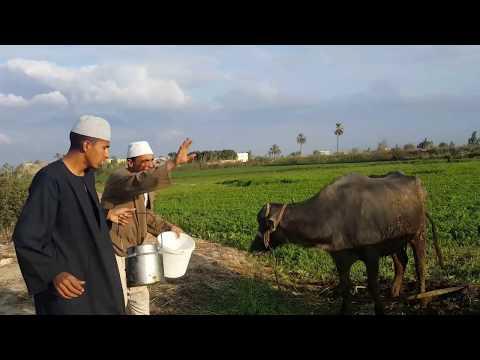 انظر ماذا فعل حسنين في مواشي الحاج مسعود/هتضحك يعنى هتحضك حتى البكاء