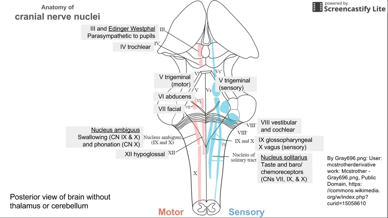 Anatomy of Cranial Nerve Nuclei - YouTube