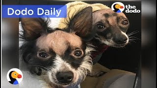 Bald Dog Brothers Do Everything Together: Best Animal Videos | The Dodo Daily