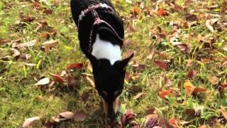 まるで牛ですが、我が家の犬アンは草を食べるのが好き。いつもの光景の...