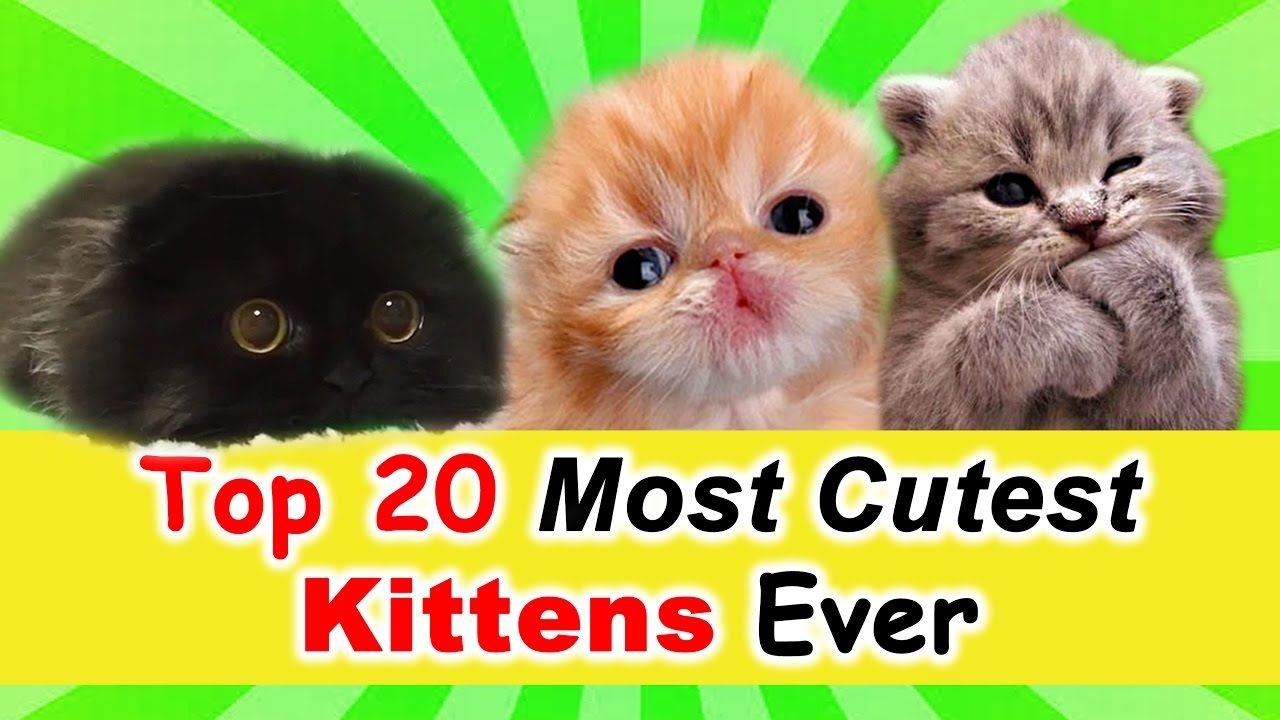 Most Cutest Kittens Ever Top 20
