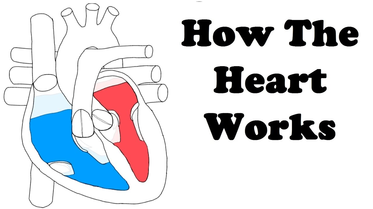 how the heart works - 1280×720