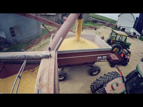 Transferring Corn for Feed