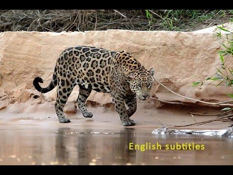 OssianVision - Jaguar Pantanal - Brazil, English subtitles