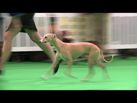 WELKS Dog Show 2016 - Hound group Shortlist