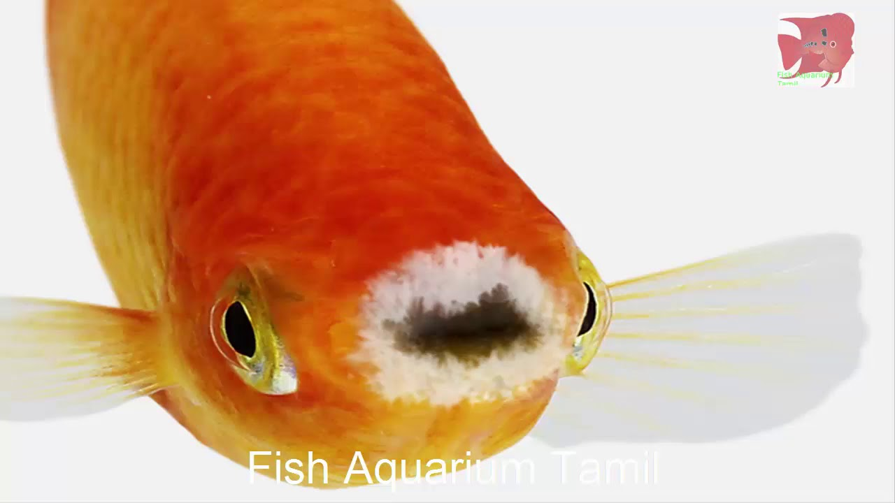 Disease names and types for all aquarium fishes in tamil / name of ...