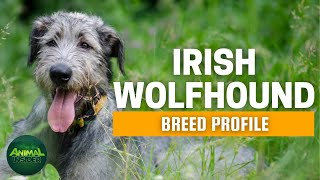 Irish Wolfhound Dogs 101 | Is This Mythical Gentle Giant For You?
