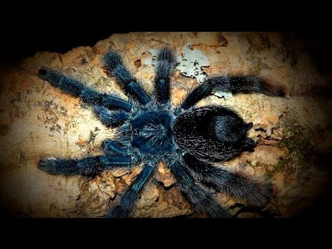 Avicularia Metallica (White Toe Tarantula) -- Feeding Spiderslings