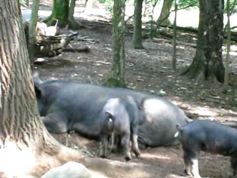 Horny pig