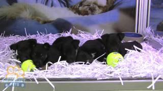 Kelpie X Labrador Puppies