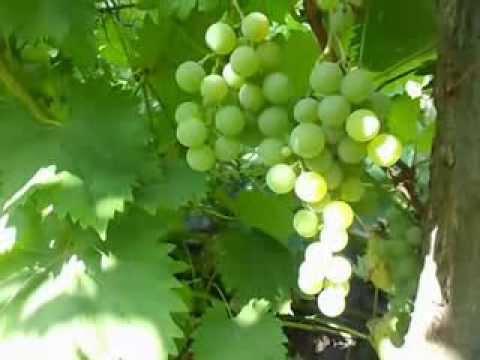 Сорт винограда Дружба.