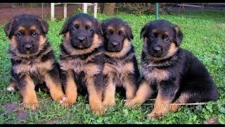 Веселые щенки немецкой овчарки фильм -2 Латвия
