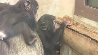 Download Video チンパンジー 双子の赤ちゃん 60 Chimpanzee twin baby MP3 3GP MP4