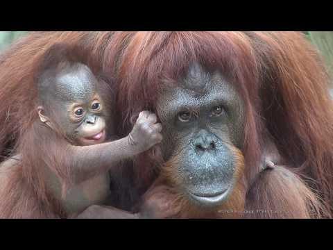 [4K] Who is a pretty baby orangutan?