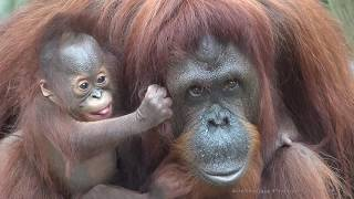 [4K] Who is a pretty baby orangutan?