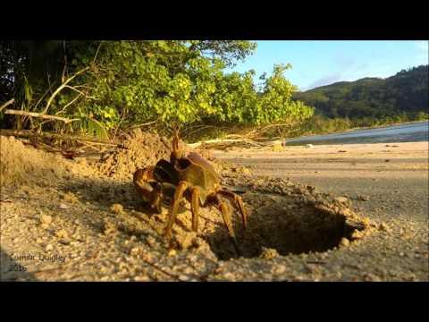 Crab Excavating a burrow on Takamaka beach, Mahe, Seychelles