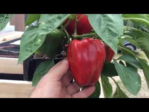 Huge Red Bell Peppers Grown In a 1 Gallon Grow Bag! You Won't Believe This!