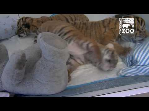 Malayan tiger cubs born at the Cincinnati Zoo