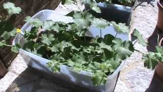 Container Gardening - Cantaloupe, Zucchini, Spearmint, Green Beans, Lettuce! (Compost Pile)