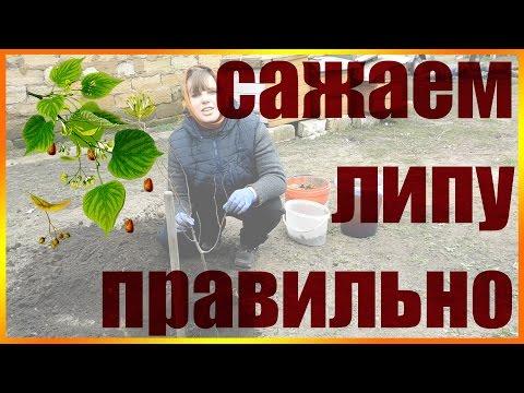 Липа – свойства и цветки липы, применение липового цвета