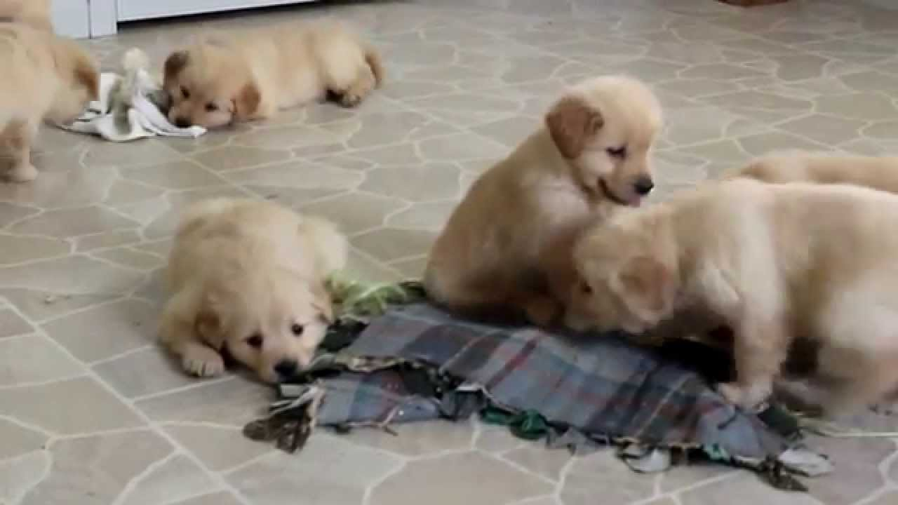 Singapore golden retriever puppies for sale