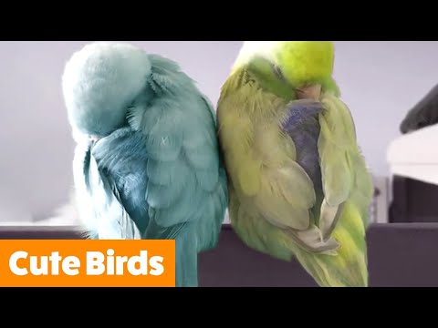 Adorable Silly Birds | Funny Pet Videos