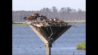 2014 Ospreys at Blackwater NWR