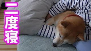 柴犬小春 朝からかまってちゃんを腕枕で寝付かせる thumbnail