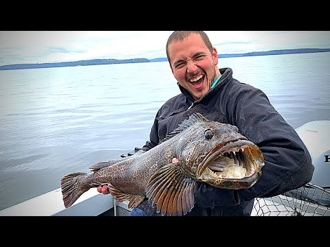 How To Catch Lingcod In Puget Sound! HUGE Monster!
