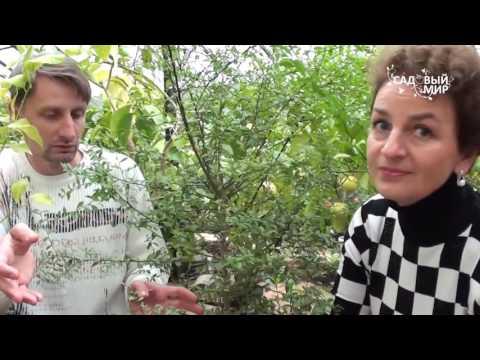 Цитрусовые растения дома  Пальчиковый лайм