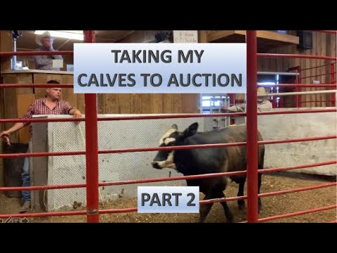 RAISING BEEF CATTLE FOR BEGINNERS – Taking My Calves to Auction (Part 2)