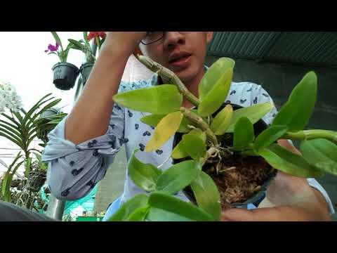 Nesto × Aphyllum . 18.04.2018 . Lh : 0908.846.804