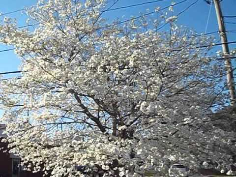 Flowering Dogwood And Yoshino Cherry Youtube