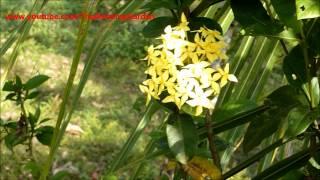 ixora flower yellow plant no 3