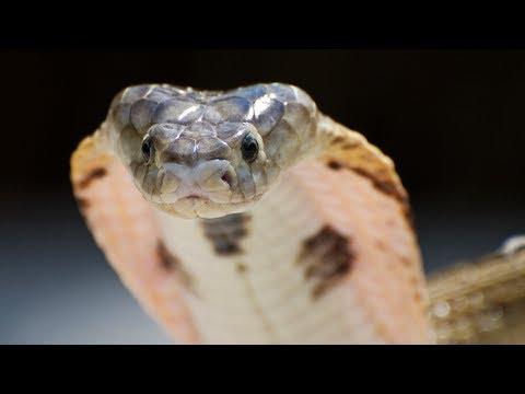 Cobra Screaming 01 - Real Video