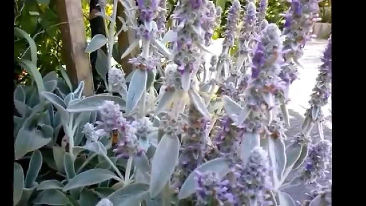 Pianta Orecchie Di Agnello stachys lanata (stackys olimpica) - youtube