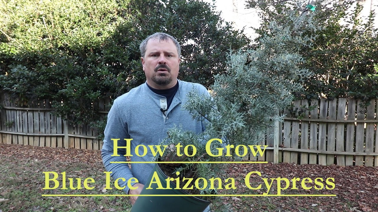 How To Grow Blue Ice Arizona Cypress With A Detailed Description