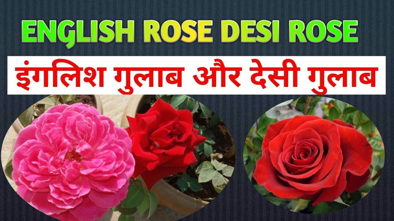 Difference Between English Rose And Desi Rose  E0 A4 87 E0 A4 82 E0 A4 97 E0 A4 B2 E0 A4 Bf E0 A4 B8  E0 A4 97 E0 A4 B2 E0 A4 Be E0 A4 Ac  E0 A4 94 E0 A4 B0  E0 A4 A6 E0 A5 87 E0 A4 B6 E0 A5 80