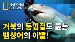 6m이상 성장하는 사냥의 제왕 뱀상어의 특이한 식성
