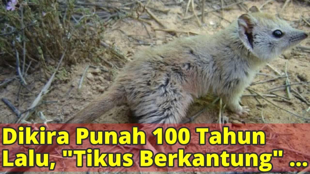 730 Gambar Binatang Tikus Berkantung Gratis Terbaik