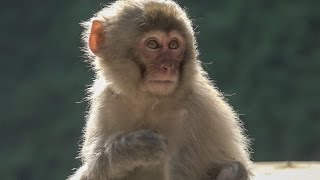 【SNOW MONKEY】 Do you remember me? 地獄谷野猿公苑