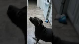 Хозяин угостил свою собаку очень кислой конфетой