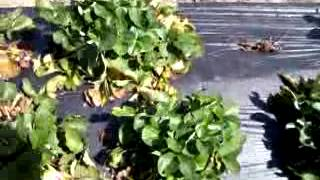 Sorrento, Florida, PICKING STRAWBERRIES