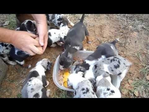 Catahoula Pups Eating Fresh Eggs