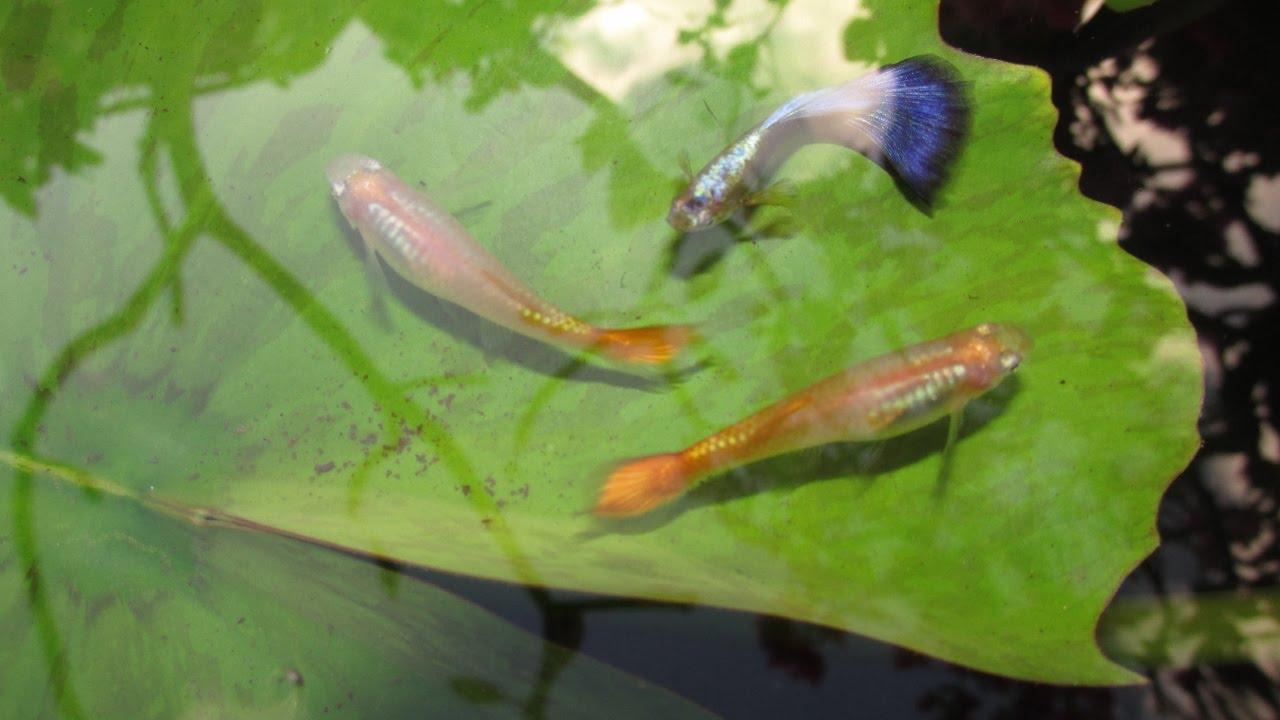 Cross breeding guppies neon blue x sunset micariff for Breeding pond fish