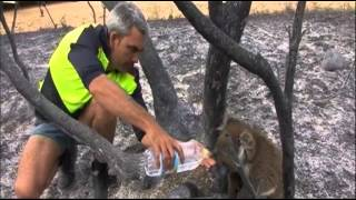 Koalas Injured in Massive Brushfire in Australia