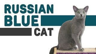 Russian Blue Cat  Watch This Complete Guide Before Getting One