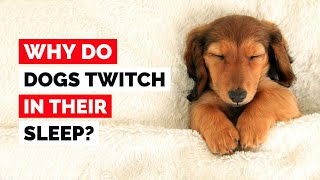 Why Do Dogs Twitch In Their Sleep?