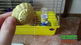 Карликовый кролик в квартире Уход и содержание Кнопа